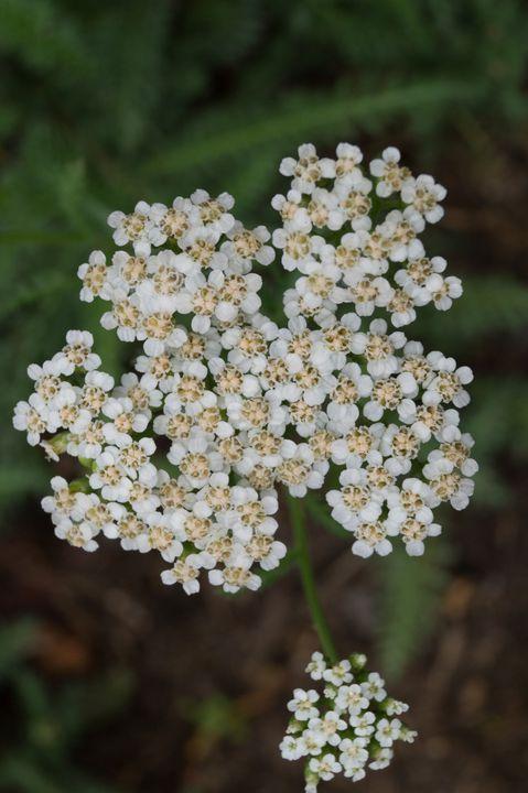 Texture #Bush #Plant #Apiaceae #Flower