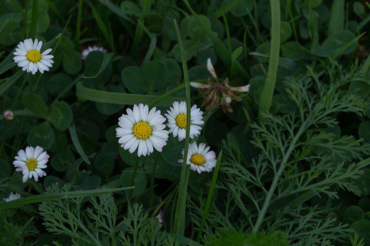 Texture #Plant #Daisies #Daisy #Flower