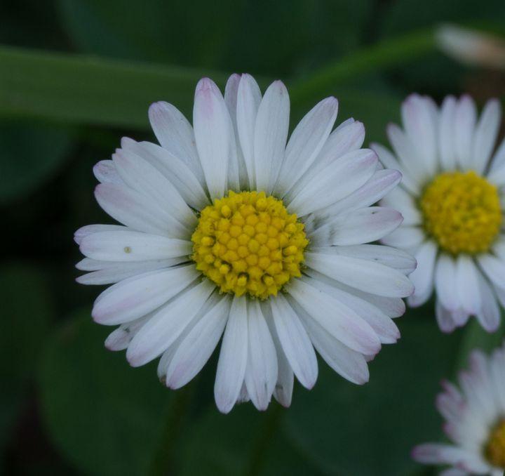 Texture #Plant #Daisy #Daisies #Flower