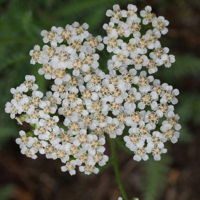 CG Texture - #Bush #Plant #Apiaceae #Flower /