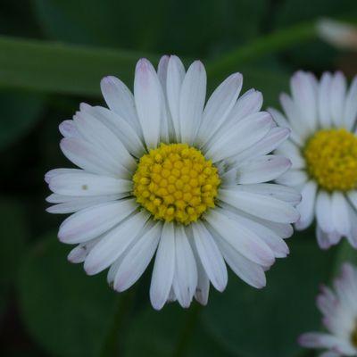 CG Texture - #Plant #Daisy #Daisies #Flower /