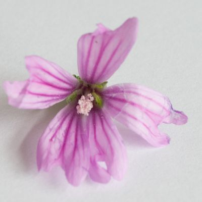 CG Texture - #Plant #Flower #Geranium #Petal /